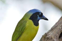 Green Jay | Flickr - Photo Sharing!