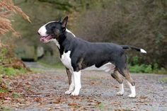 I don't know why, but I sort of just pictured this the size of a draft horse and it made me ridiculously happy. Chien Bull Terrier, Mini Bull Terriers, Miniature Bull Terrier, English Bull Terriers, Pitbull Terrier, Best Dog Breeds, Best Dogs, Nanny Dog, Most Beautiful Dogs