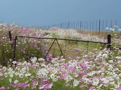 Cosmos growing wild in South African veld.