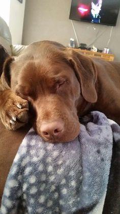 Sleeping chocolate lab