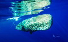 Observação de cetáceos [cachalote] - Ilha do Pico, Açores (Portugal).  Os Açores são actualmente um dos maiores santuários de baleias do mundo. Entre espécies residentes e migratórias, comuns ou raras, avistam-se mais de 20 tipos diferentes de cetáceos nas suas águas. O número impressiona e corresponde a um terço do total de espécies existentes.