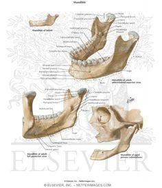 mandible anatomy - Google Search