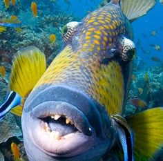 Titan Triggerfish - found in reefs all over the world; can grow to about 3 feet long.