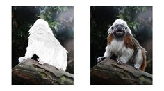 Cotton Top Tamarin coloring page Zoo Animal Coloring Pages, Zoo Animals, Colored Pencils, Lion Sculpture, Statue, Cotton, Top, Colouring Pencils, Crop Shirt