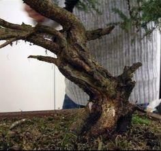 Picea Abies Bonsai in progress 2