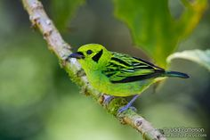 tanager | Emerald Tanager (Unique ID: 4845)