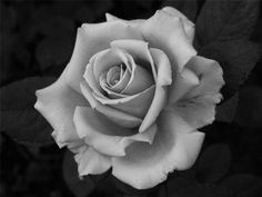 black and white roses black and white pinterest white roses