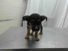 03/01/17-HOUSTON - SUPER URGENT - This DOG - ID#A478652  I am a male, black and brown Labrador Retriever mix.  My age is unknown.  I have been at the shelter since Mar 01, 2017.  This information was refreshed 16 minutes ago and may not represent all of the animals at the Harris County Public Health and Environmental Services.