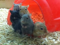 Ready, set, gerbils!