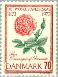 """Rose """"Queen of Denmark"""""""
