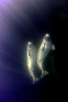 Beluga whales :)