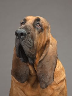 """""""Yeah im not begging for a treat, you'll give it to me or ill give you puppy dog eyes"""" -  Bloodhound"""