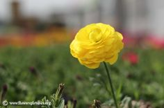 ranunculus asiaticus, High quality pictures and images of flowers. Tropical Landscaping, Landscaping Ideas, Persian Buttercup, Ranunculus, Flower Pictures, Colorful Flowers, Plants, Pink, Yellow