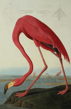 Prints of Greater Flamingo, Phownicopterus Ruber by Natural History Museum (841mm x 1189mm) | Shop | Surface View