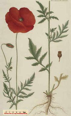 Kornvalmue - fra Flora Danica