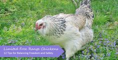 The idea of true free range chickens is great, but in reality it's dangerous. To balance freedom and safety, we use a modified free range system which we describe in detail, along with tips on fencing, layout and location of chicken yard, providing cover, choosing appropriate chicken breeds, etc., so that you can develop your own limited free range system.