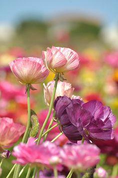 The Flower Fields at Carlsbad Ranch/ Carlsbad, CA