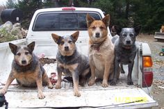 Australian Cattle dogs help us around the farm. From L-R: Roxy, Gunner ...