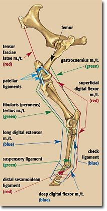 Front Leg Ligament Diagram Yamaha Xs650 Chopper Wiring Equine Limb Anatomy Horse Home Stuff Hind Locking Mechanisms