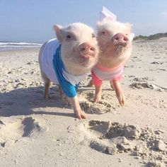 Remembering sunny days when our only worry was a sandy chin and not being able to find any shark's teeth!☀️We are hunkering down and getting ready for #HurricaneMatthew! Piggy prayers for everyone in its path. Our worst weather should come tomorrow afternoon/evening!⛈☔️#tbt #PonteVedraBeach #PrissyandPop #AAPets