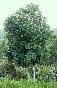 Cunonia capensis African Tree, Garden Trees, Small Trees, Garden Planning, Graham, Lonely, Landscape Paintings, Flora, Tropical
