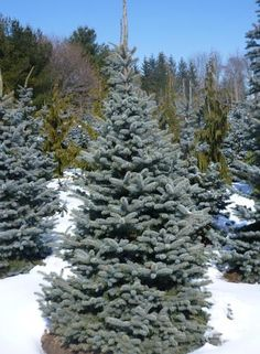 Picea pungens 'Baby Blue'  Zone: 3, Height:8-10 m, Spread: 4-5 m