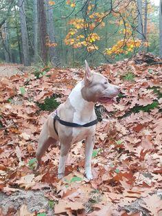 Pitbulls, Dogs, Blue, Animals, Animales, Pit Bulls, Animaux, Pet Dogs, Pitbull