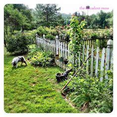 #home #dog #garden #australianshepherd #thedecadentmess #blog #alabama