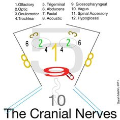 Cranial Nerves! easiest way to remember