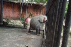 Zoobotânico de Teresina – Babuíno