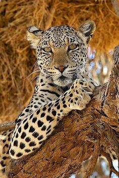 African Leopards are under threat in the same way as many African species - habitat fragmentation, reduced prey numbers and human-wildlife conflict all contribute to their decreasing numbers Nature Animals, Animals And Pets, Funny Animals, Cute Animals, Beautiful Cats, Animals Beautiful, Big Cats, Cats And Kittens, Jaguar