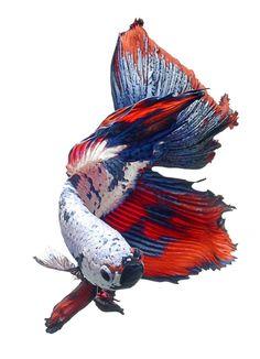 ภาพปลากัด วิศรุต ช่างถ่ายภาพปลากัด ฝีมือระดับโลก