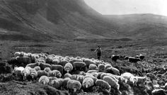 Old photograph of a shepherd and sheep in Glencoe, Highlands of Scotland