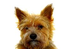 All sizes | Bedandbreakfastbrouwershaven Prince Norwich terrier Zeeland BrouwersdamIMG_9982 | Flickr - Photo Sharing!