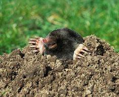 Čitatelia radia čitateľom! Pozrite si tipy, ako vypudiť krtka zo záhrady - Pluska.sk Gardening, Animals, Milan, Sunshine, Animales, Animaux, Lawn And Garden, Animal, Nikko
