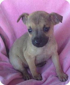 Sunbury, OH - Miniature Pinscher Mix. Meet Elliana, a puppy for adoption. http://www.adoptapet.com/pet/15305153-sunbury-ohio-miniature-pinscher-mix