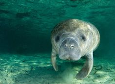 The average manatee is 9 feet long and weighs 800-1,200 pounds.
