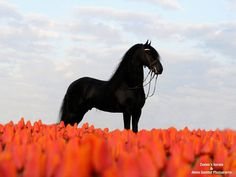 A Fresian stallion and tulips from the Netherlands. (Zeelen's Rico). Photo by: Annie Damhof Photography