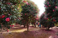 위미 동백나무 군락