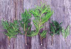 Tuja szaporítás - gazigazito.hu Bonsai Tree Types, Plantar, Pine