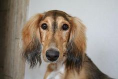 Did you know? The oldest known breed is likely the Saluki - originally trained by Egyptians to help them track game.