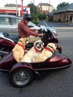 Man's best friends ride sidecar -