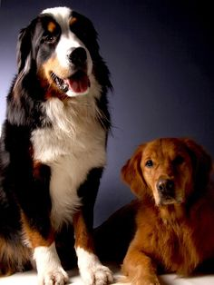 Bernese Mountain Dog, Golden Retriever, Perro, Animales