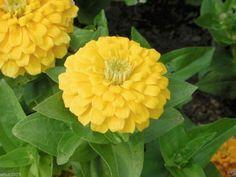 Zinnia Elegans 500 Seeds'YELLOW'-Butterflies And Hummingbirds love them- !