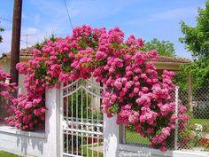 O Jardim Verde da Cris: Rosa Trepadeira