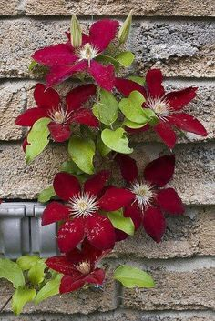 **Climber - Clematis Rebecca Position: full sun or partial shade Soil: fertile, well-drained, neutral soil Rate of growth: average to fast growing Flowering period: June to September Flower colour: plum red Hardiness: fully hardy