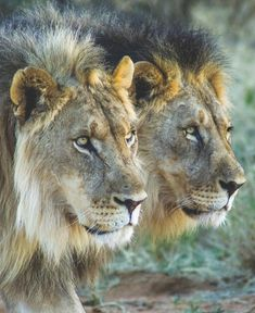 Two Great Looking African Male Lions.
