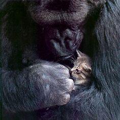 Koko, a gorilla being studied, asked a researcher for a pet kitten!