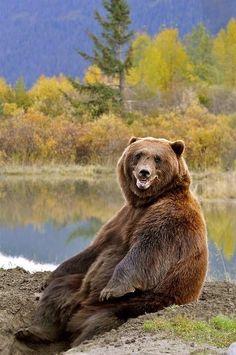 Big brown bear just chillin'
