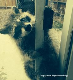 """""""Can I come in?"""" Kismet (the Raccoon) is being raised by a licensed wildlife rehabilitation specialist. He will be released to the wild when he is ready."""